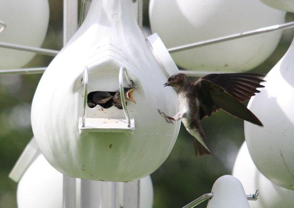 Bird Talk: Purple Martins, Lichterman Nature Center