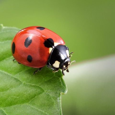 """Summer Lecture Series: """"Ladybugs, Fireflies, and More"""""""