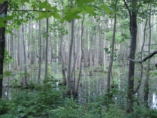 Swamp&trees.jpg