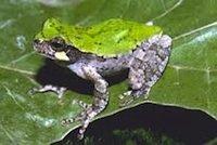 bird-voiced tree frog.jpg