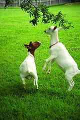 goat dance.jpg