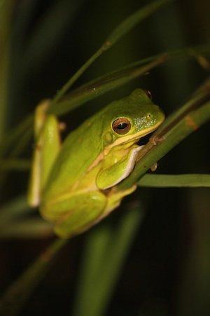 Red-eyefrog.jpg