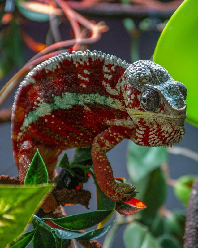 Island LIfe Panther Chameleon V.JPG