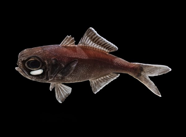 Splitfin Flashlight Fish.jpg