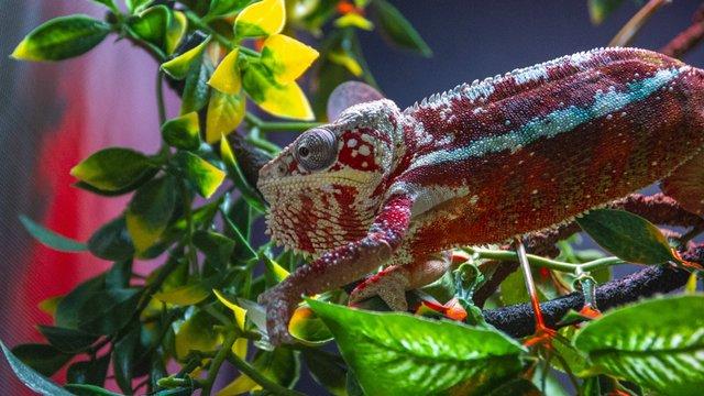 Island Life Panther Chameleon.JPG