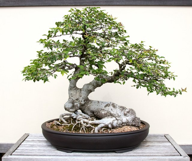 """Bonsai: Majestic Miniatures,"" Dixon Gallery and Gardens"