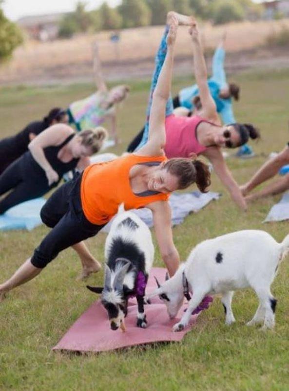 Social Distancing Goat Yoga, Walkapony Goat Ranch